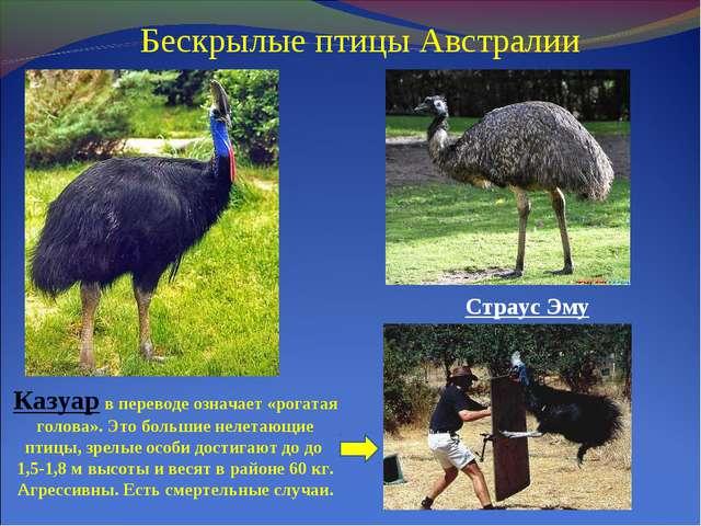 Бескрылые птицы Австралии Казуар в переводе означает «рогатая голова». Это бо...