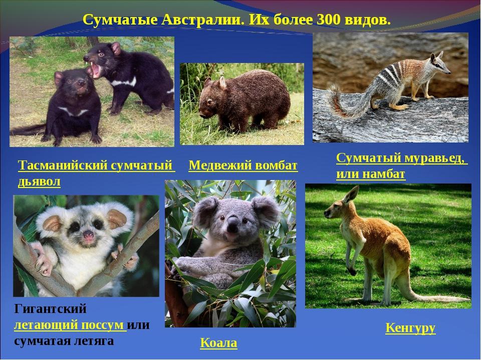 Сумчатые Австралии. Их более 300 видов. Тасманийский сумчатый дьявол Сумчатый...