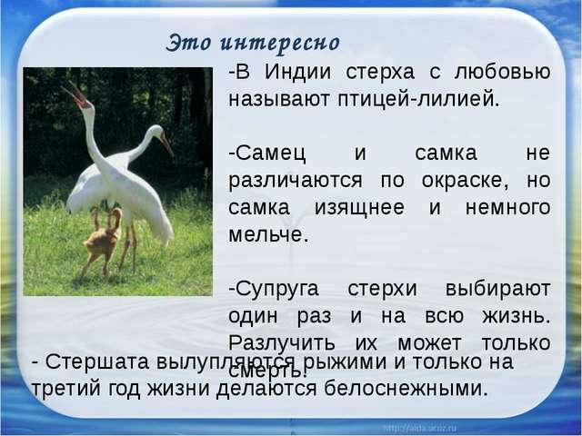 -В Индии стерха с любовью называют птицей-лилией. -Самец и самка не различаю...