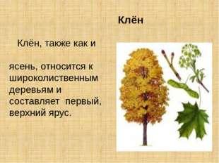 Клён Клён, также как и ясень, относится к широколиственным деревьям и состав