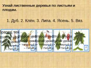 Узнай лиственные деревья по листьям и плодам. 1. Дуб. 2. Клён. 3. Липа. 4. Яс