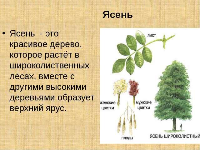 Ясень Ясень - это красивое дерево, которое растёт в широколиственных лесах,...
