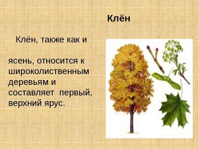 Клён Клён, также как и ясень, относится к широколиственным деревьям и состав...