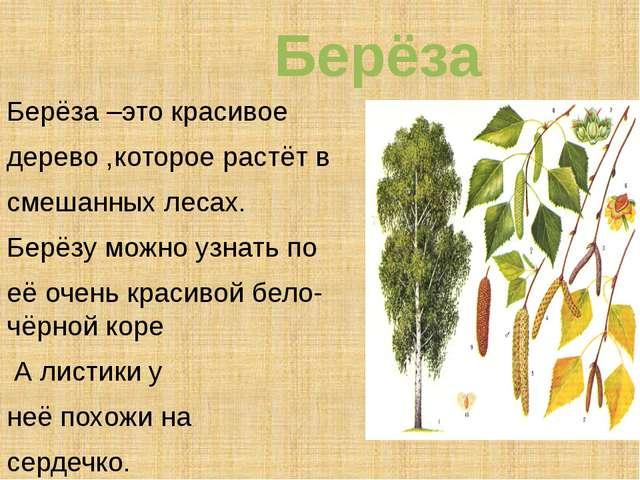 Берёза Берёза –это красивое дерево ,которое растёт в смешанных лесах. Берёзу...