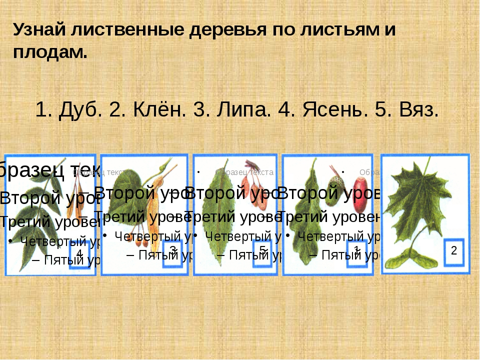 Узнай лиственные деревья по листьям и плодам. 1. Дуб. 2. Клён. 3. Липа. 4. Яс...