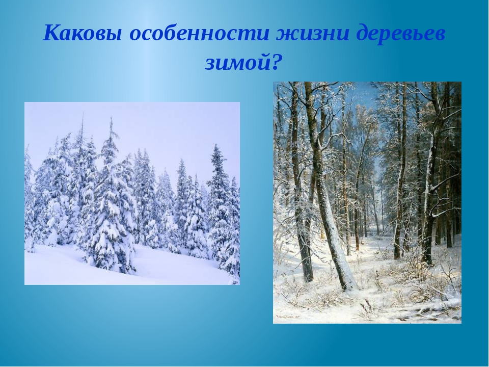 Каковы особенности жизни деревьев зимой?