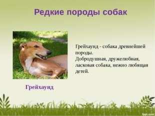 Редкие породы собак Грейхаунд Грейхаунд - собака древнейшей породы. Добродушн