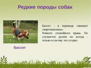 Редкие породы собак Бассет Бассет - в переводе означает «коротконожка». Ровно