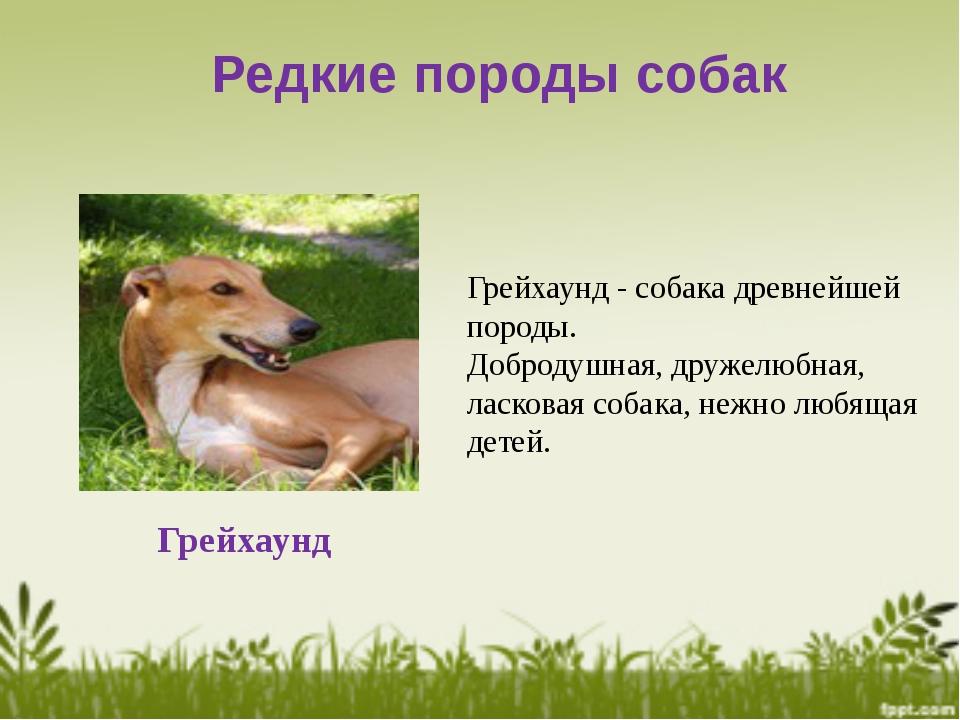 Редкие породы собак Грейхаунд Грейхаунд - собака древнейшей породы. Добродушн...