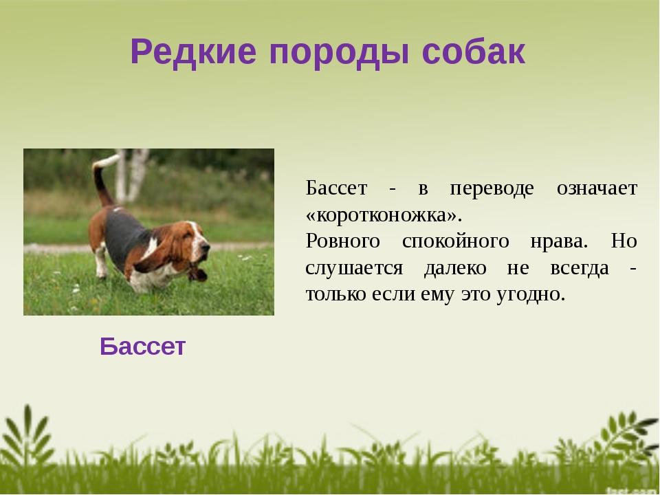 Редкие породы собак Бассет Бассет - в переводе означает «коротконожка». Ровно...