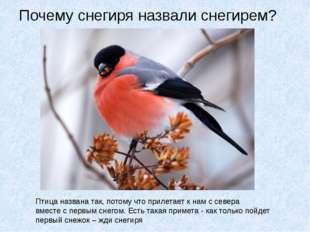 Почему снегиря назвали снегирем? Птица названа так, потому что прилетает к на