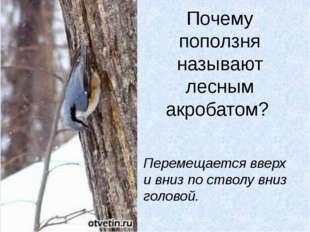 Почему поползня называют лесным акробатом? Перемещается вверх и вниз по ствол