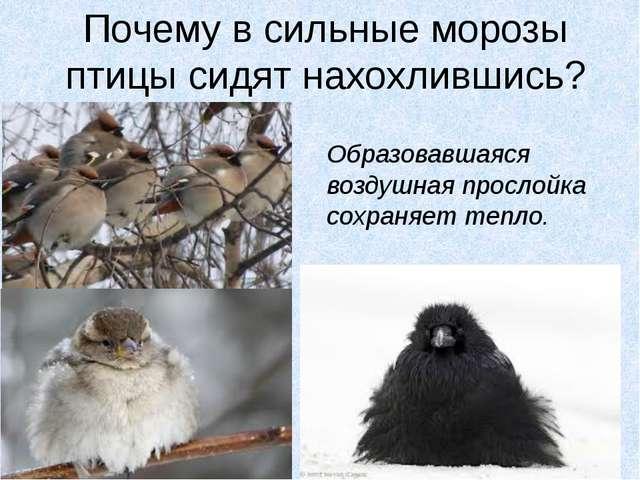 Почему в сильные морозы птицы сидят нахохлившись? Образовавшаяся воздушная пр...