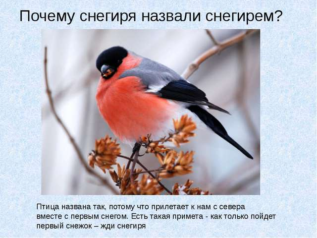 Почему снегиря назвали снегирем? Птица названа так, потому что прилетает к на...