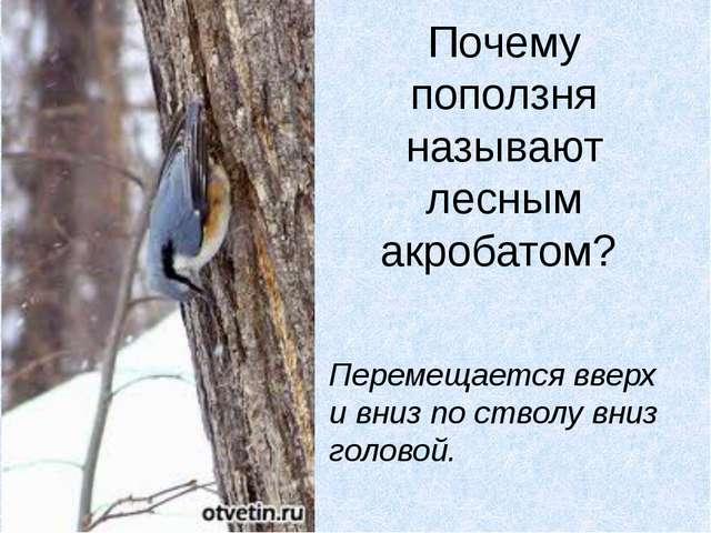Почему поползня называют лесным акробатом? Перемещается вверх и вниз по ствол...