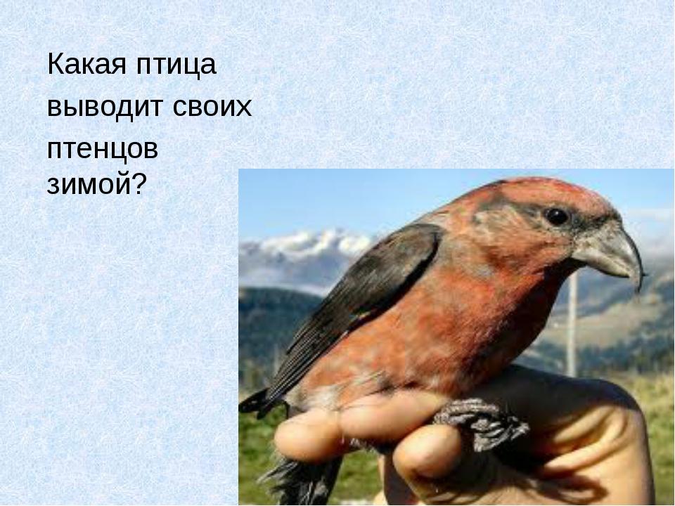 Какая птица выводит своих птенцов зимой?