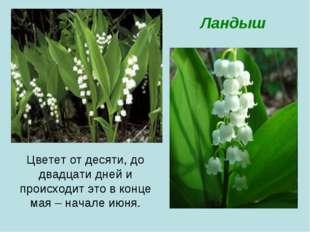 Цветет от десяти, до двадцати дней и происходит это в конце мая – начале июня
