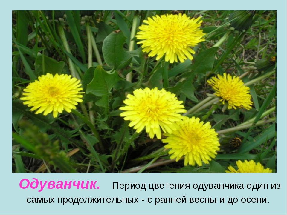 Одуванчик. Период цветения одуванчика один из самых продолжительных - с ранне...