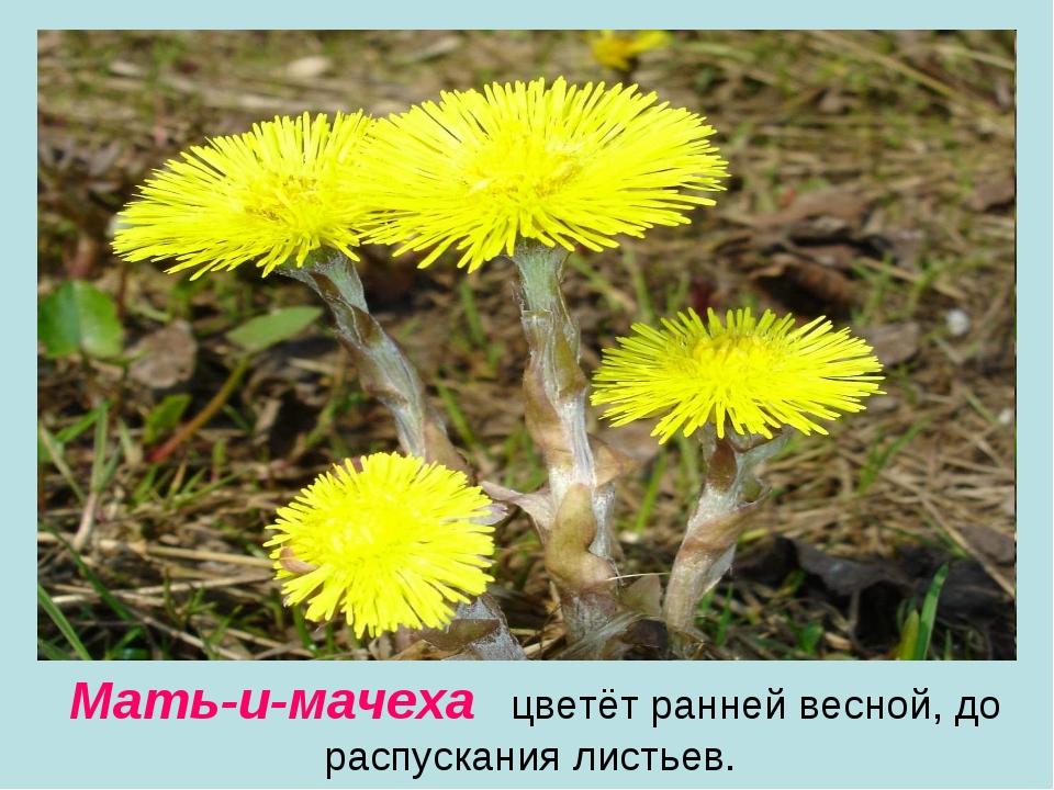 Мать-и-мачеха цветёт ранней весной, до распускания листьев.