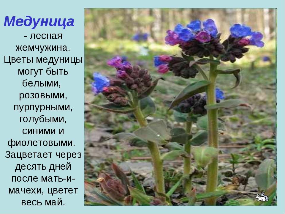 Медуница - лесная жемчужина. Цветы медуницы могут быть белыми, розовыми, пурп...