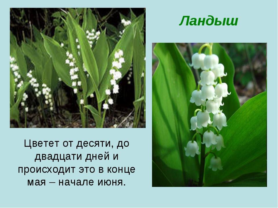 Цветет от десяти, до двадцати дней и происходит это в конце мая – начале июня...