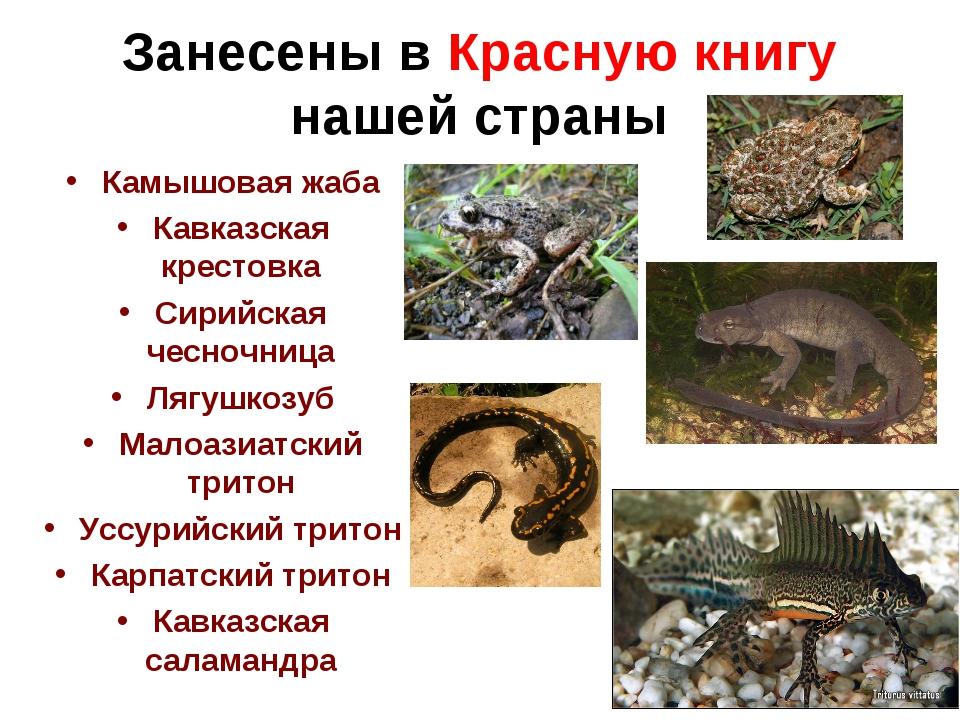 Занесены в Красную книгу нашей страны Камышовая жаба Кавказская крестовка Сир...