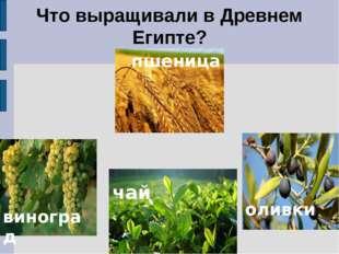 Что выращивали в Древнем Египте? пшеница. виноград чай. оливки