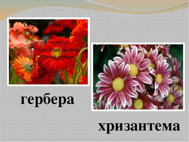 гербера хризантема