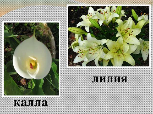 калла лилия