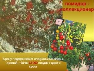 Тополь - туранга разнолистная На одной ветке разные листья: нижние – узкие и