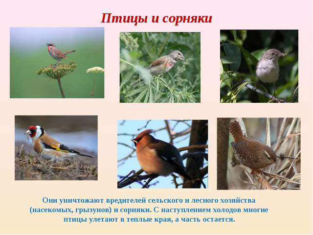 Птицы и сорняки Они уничтожают вредителей сельского и лесного хозяйства (насе...