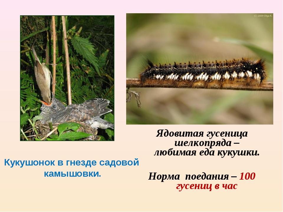 Кукушонок в гнезде садовой камышовки. Ядовитая гусеница шелкопряда – любимая...
