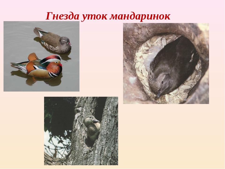 Гнезда уток мандаринок