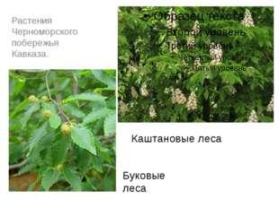 Растения Черноморского побережья Кавказа. Каштановые леса Буковые леса