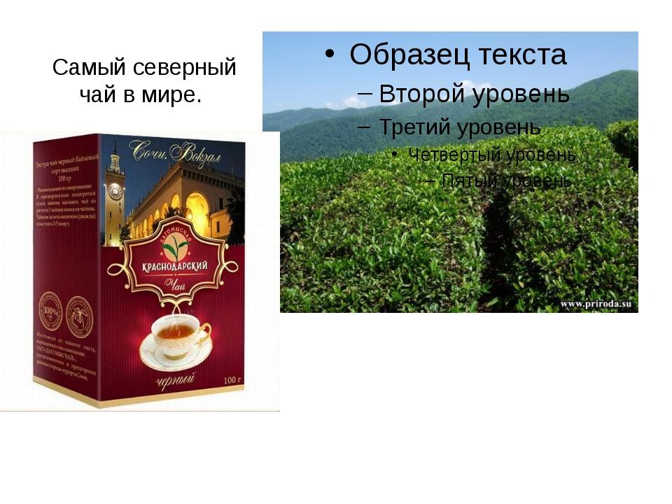 Самый северный чай в мире.