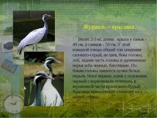 Журавль – красавка.  Весит 2-З кг, длина крыла у самок - 49 см, у самцов - 5