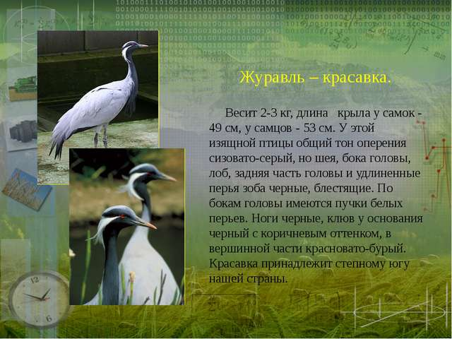 Журавль – красавка.  Весит 2-З кг, длина крыла у самок - 49 см, у самцов - 5...