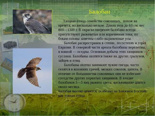 Балобан Хищная птица семейства соколиных, похож на кречета, но несколько мель...