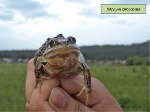 Лягушка сибирская