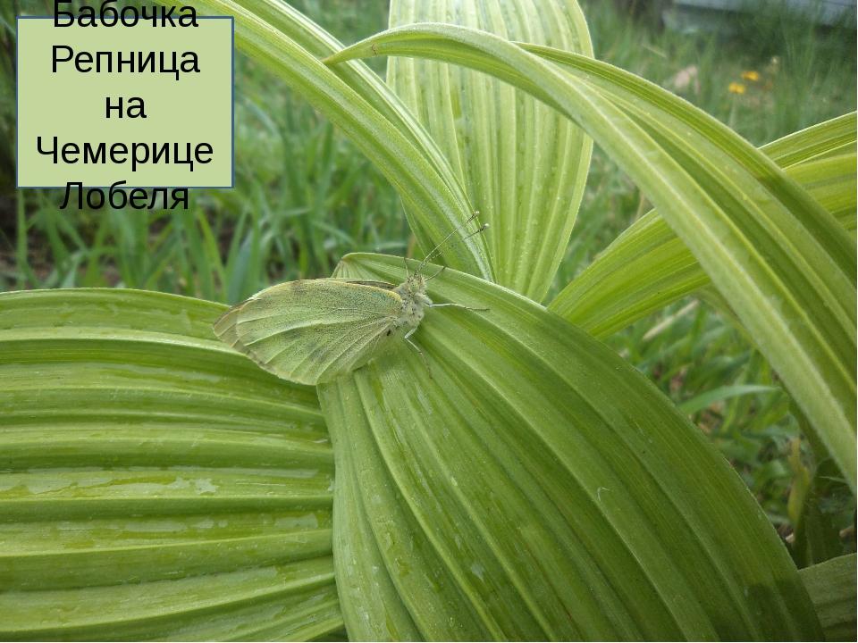 Бабочка Репница на Чемерице Лобеля