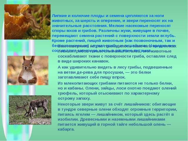 Липкие и колючие плоды и семена цепляются за ноги животных, за шерсть и опере...