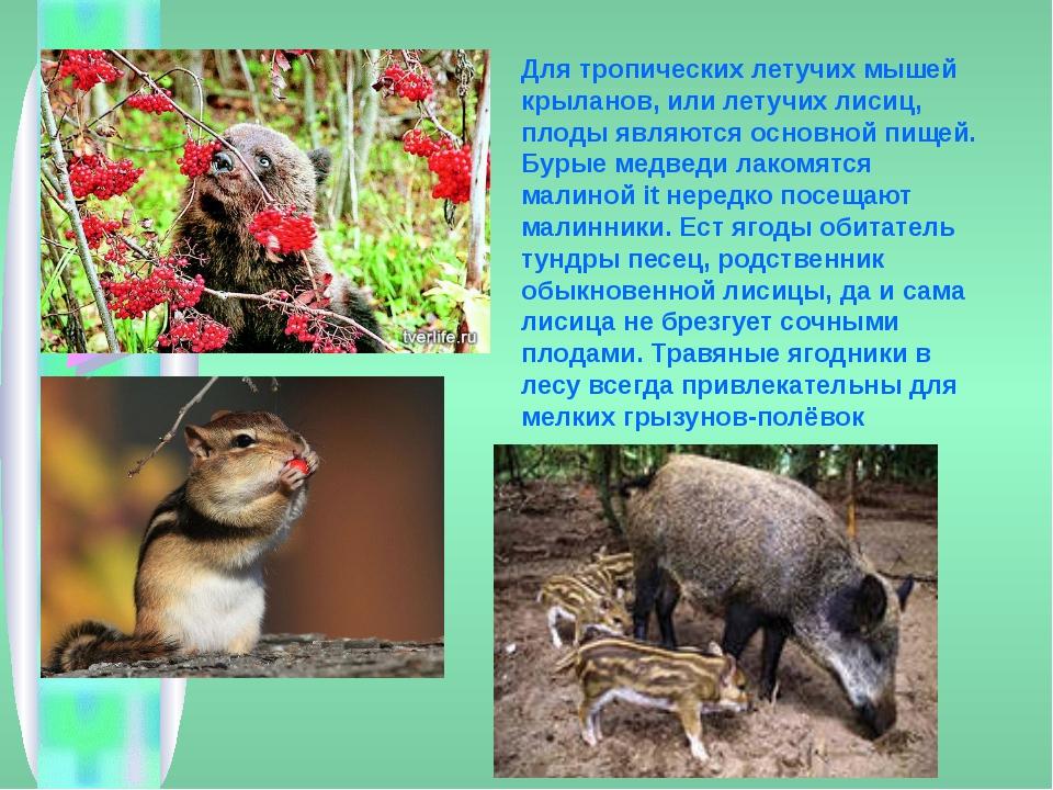 Для тропических летучих мышей крыланов, или летучих лисиц, плоды являются осн...