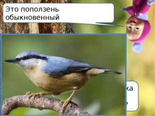 А вы знаете какая птичка может бегать по деревьям вниз головой? Это поползень