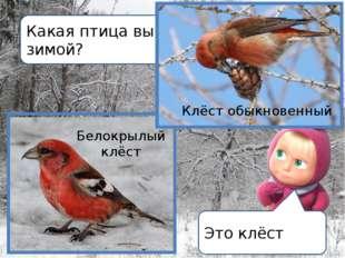 Какая птица выводит птенцов зимой? Это клёст Белокрылый клёст Клёст обыкновен