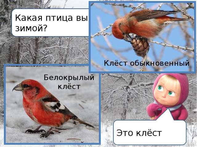 Какая птица выводит птенцов зимой? Это клёст Белокрылый клёст Клёст обыкновен...