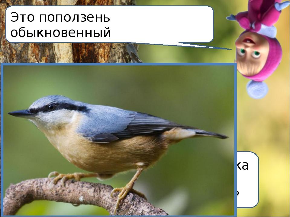 А вы знаете какая птичка может бегать по деревьям вниз головой? Это поползень...
