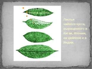 Листья чайного куста, выращенного в Китае, Японии, на Цейлоне и в Индии.