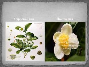 Строение чая Цветок чая
