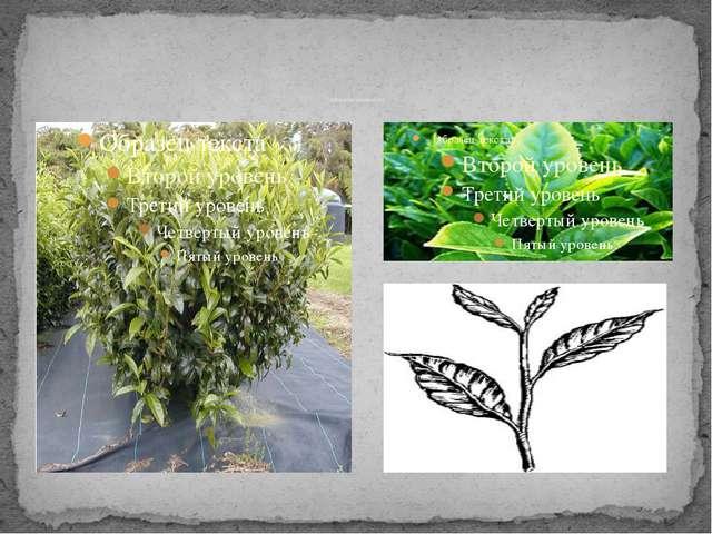 Чайные листья для сбора