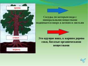 Это идущие вниз, к корням дерева соки, богатые органическими веществами Сосуд